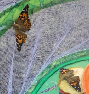montessori papillons 3